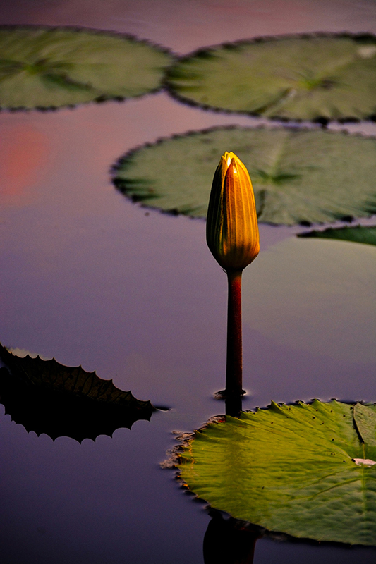 Water Lily Bud photograph by Tim Stringer